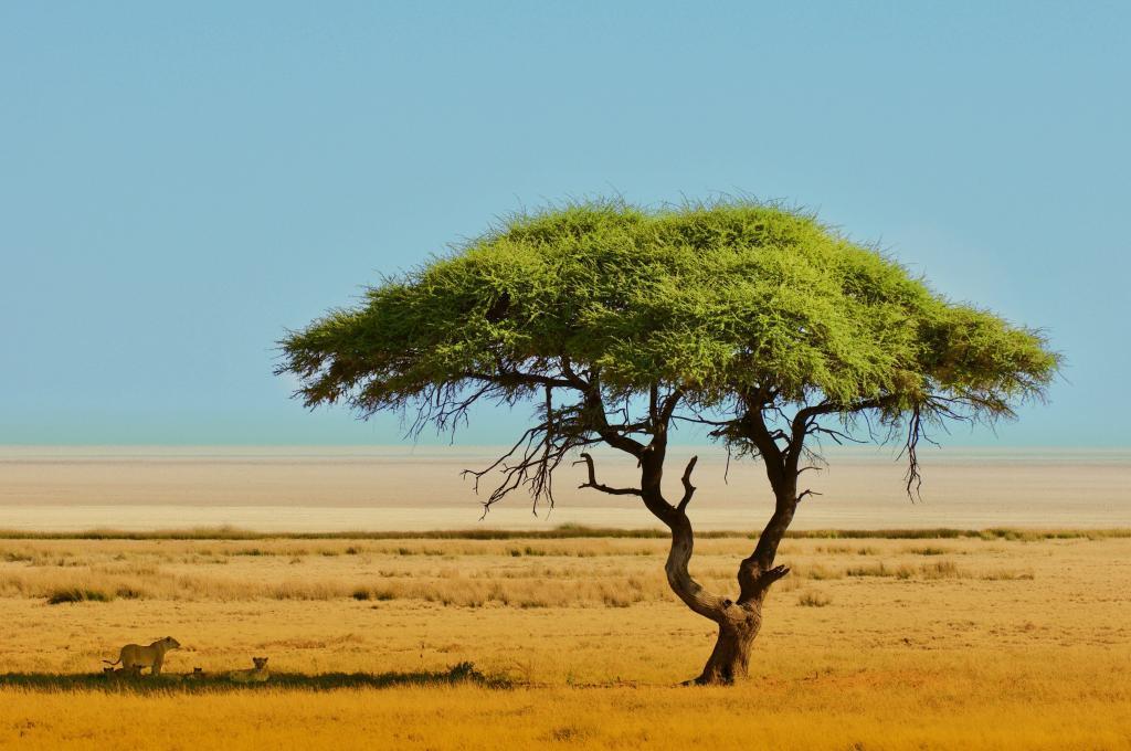 Meine Naturfotografie: Löwen unter der Akazie