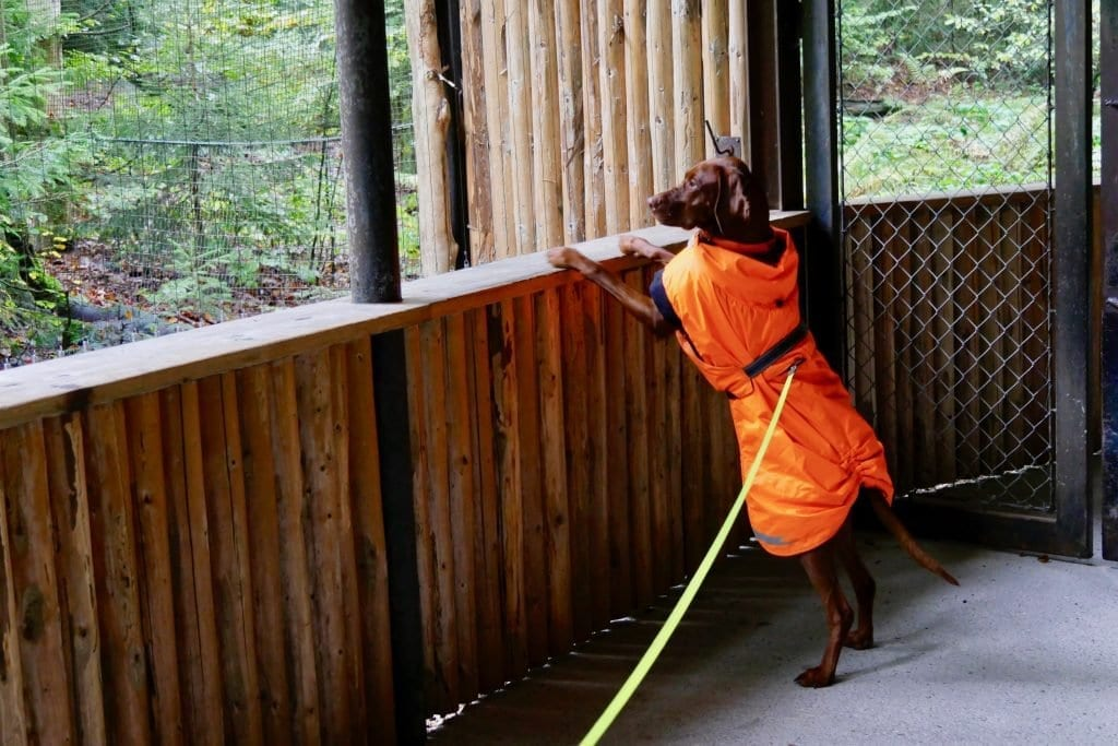 Die meisten Tiere sind Hunde gewöhnt. Nala wirft ein Blick in das Gehege des Wespenbussard.