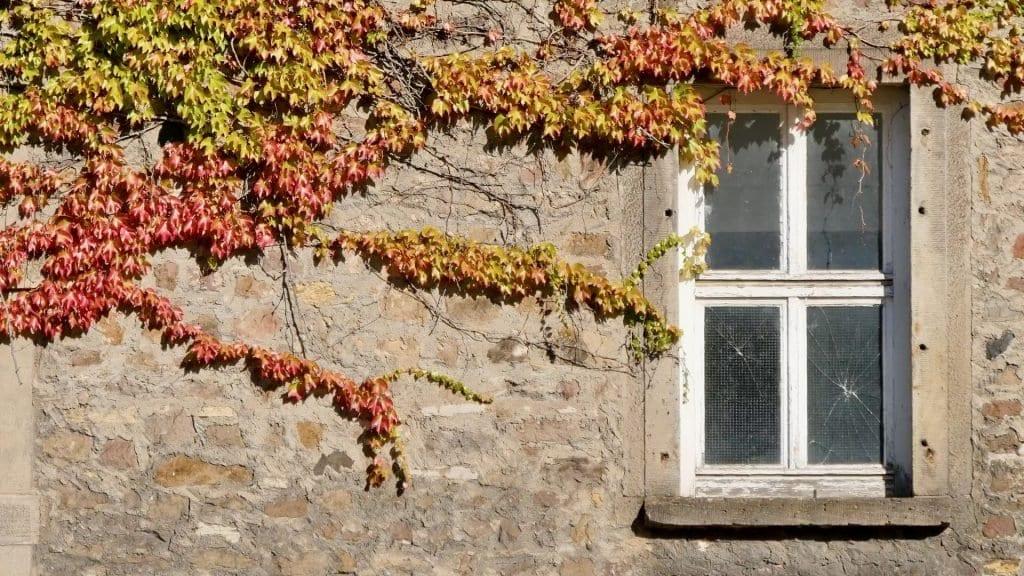 Der Herbst naht. Die Blätter verfärben sich. Wunderschön verziert der Efeu die alte Mauer.
