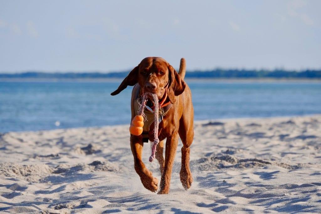 Am dänischen Strand bringt Nala den verlorenen Ball zurück
