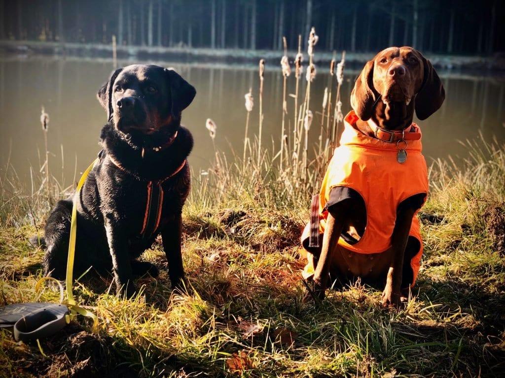 Labrador und Magyar Vizsla am Teich