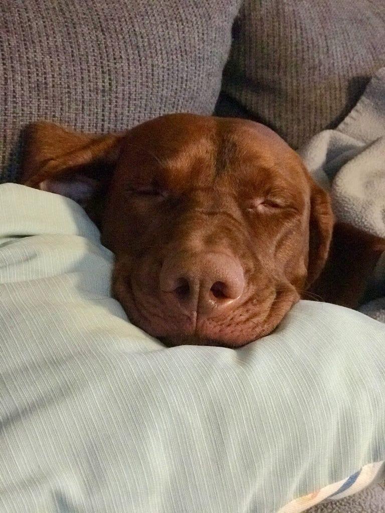 Nach genug Nasenarbeit versinkt Nala in einen tiefen Schlaf