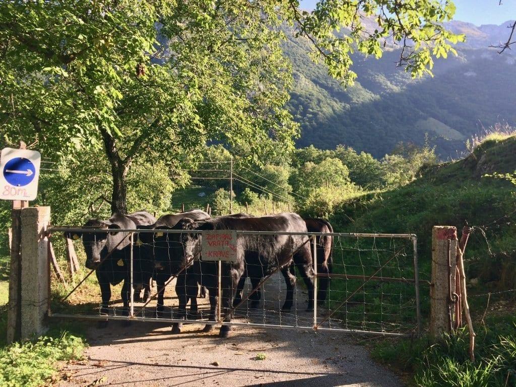 Kühe erwarten uns in Tolminske Ravne