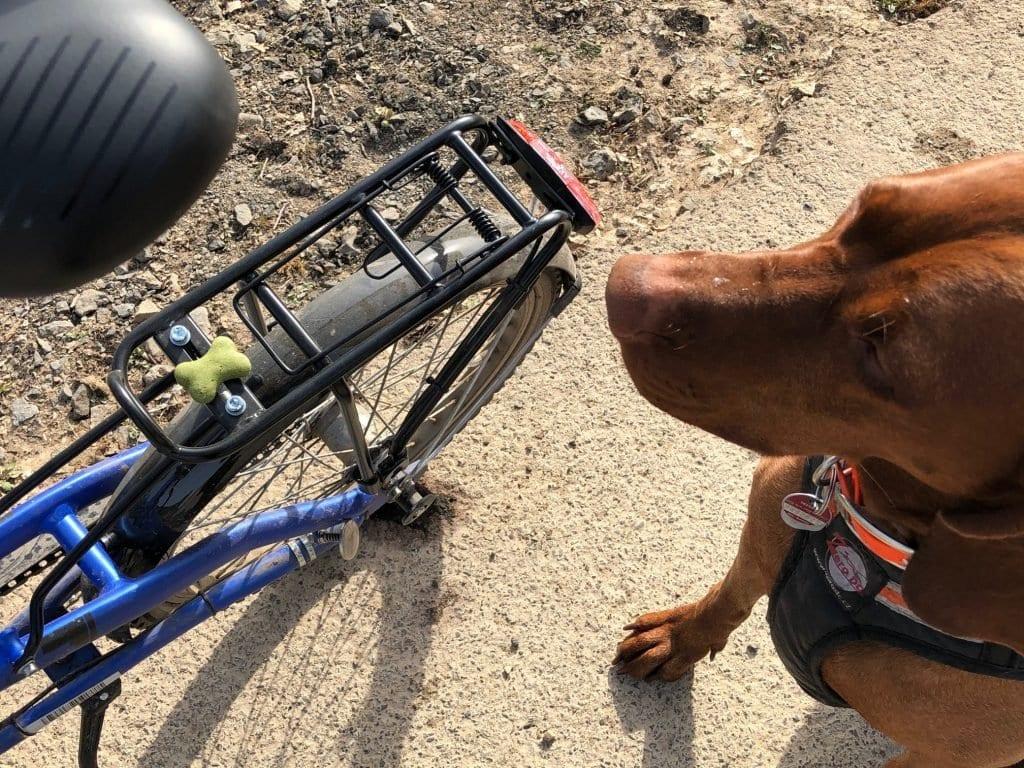 Hunde müssen langsam ans Fahrrad gewöhnt werden. Am besten mit LEckerlis auf dem Fahrrad.