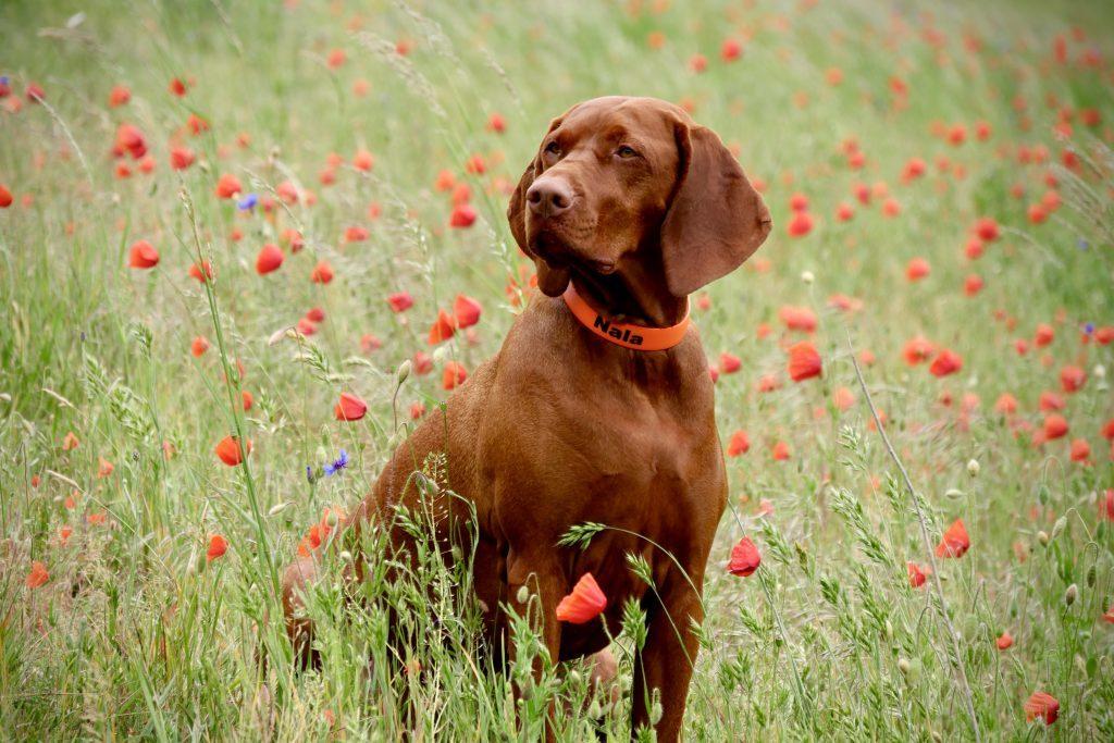 In der Mohnblumensaison nicht vergessen Hundefotos im Mohn zu machen!!!