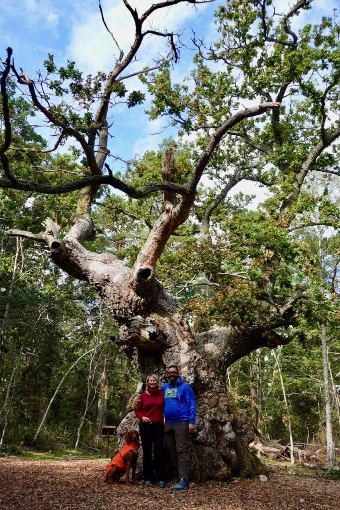 Die Trolleken - So muss eine Eiche in einem Zauberwald aussehen