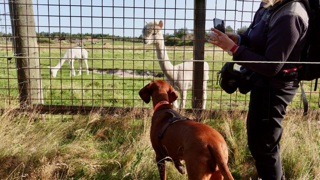 Wir passieren den Zoo und treffen am Außengehege zu Nalas Freude auf ein paar Lamas